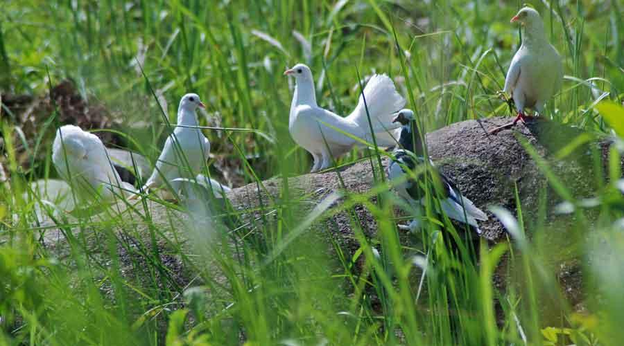 Di Indonesia terdapat berbagai jenis burung merpati dan memiliki ciri khas dan keunikan yang berbeda-beda