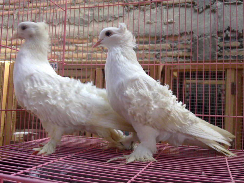 Frillback pigeon memiliki bulu keriting di bagian sayapnya