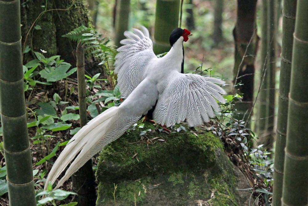 Silver Pheasant 2
