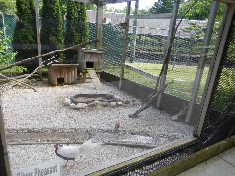 aviary silver pheasant Jual Ayam Hias HP : 08564 77 23 888 | BERKUALITAS DAN TERPERCAYA silver pheasant Silver Pheasant Lovers? Find The Description, Origin, Behavior, Facts, And Other Information About This Species In This Site!