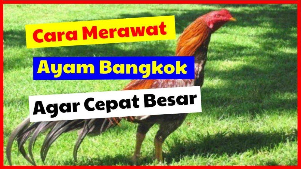 Cara Merawat Ayam Bangkok Agar Cepat Besar Jual Ayam Hias