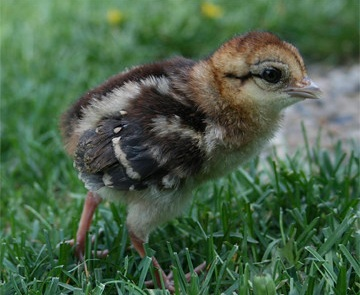 silver pheasant chick silver pheasant Jual Ayam Hias HP : 08564 77 23 888 | BERKUALITAS DAN TERPERCAYA silver pheasant Silver Pheasant Lovers? Find The Description, Origin, Behavior, Facts, And Other Information About This Species In This Site!
