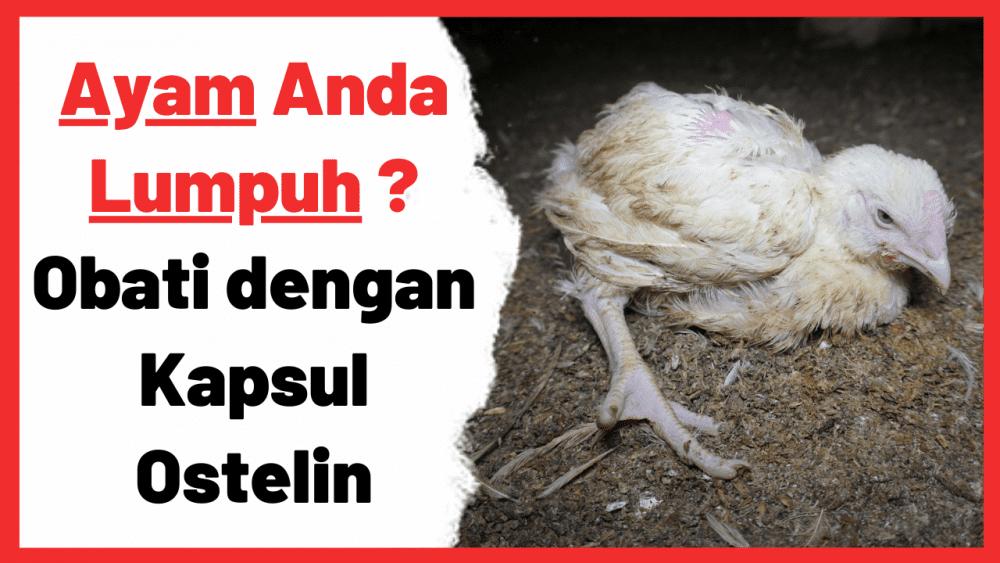 Ayam yang mengalami kelumpuhan biasanya disebabakan oleh beberapa faktor | Cover Ayam Lumpuh