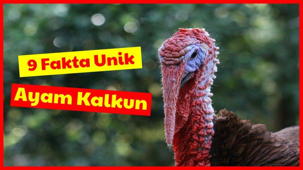 9 Fakta Unik Ayam Kalkun Si Ayam Besar Yang Ternyata Bisa Terbang