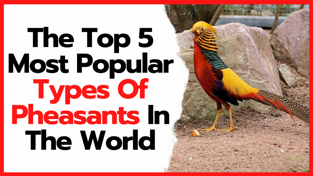 The top 5 Most Popular Types Of Pheasants In The World