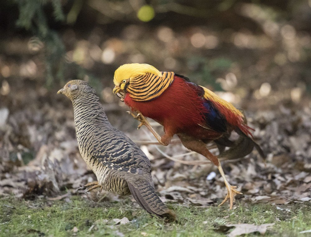 Golden pheasant are one of the types of pheasants that known by its colorful and luxury plumage.   Pair of Golden Pheasant.
