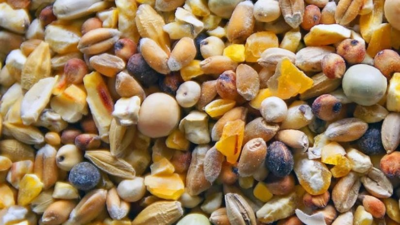 cropped Grains and seeds Pheasant food Jual Ayam Hias HP : 08564 77 23 888   BERKUALITAS DAN TERPERCAYA Pheasant food Pheasant Food : Knowing What To Feed A Pheasant To Raising A Healthy, Strong, And High Quality Bird