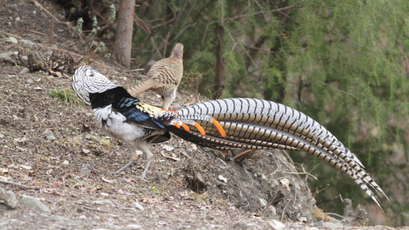 Lady amherst pheasant almost the same as golden pheasant, but lady amherst pheasant has predominantly black, white, and blue feathers.   Pair of Lady Amherst Pheasant