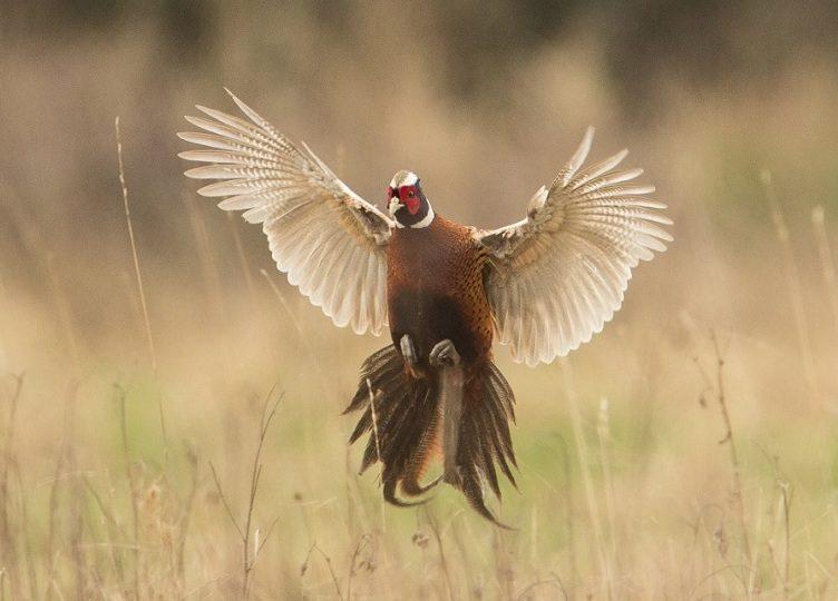 pheasant flying Pheasant facts Jual Ayam Hias HP : 08564 77 23 888 | BERKUALITAS DAN TERPERCAYA Pheasant facts Pheasant Facts : Discover 13 Amazing Pheasants Facts Before You Keep Pheasants In Your Backyard