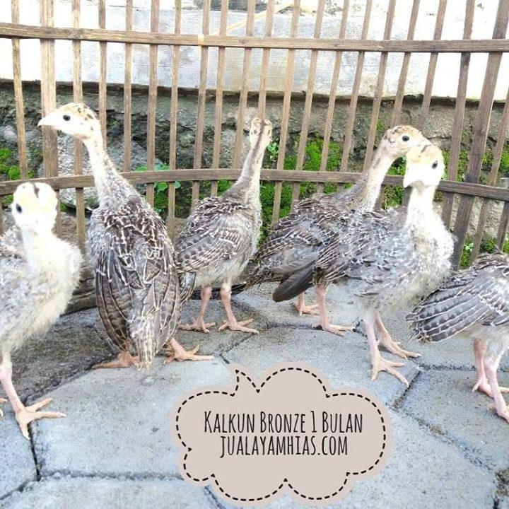 Ayam Kalkun Bronze Usia 1 Bulan