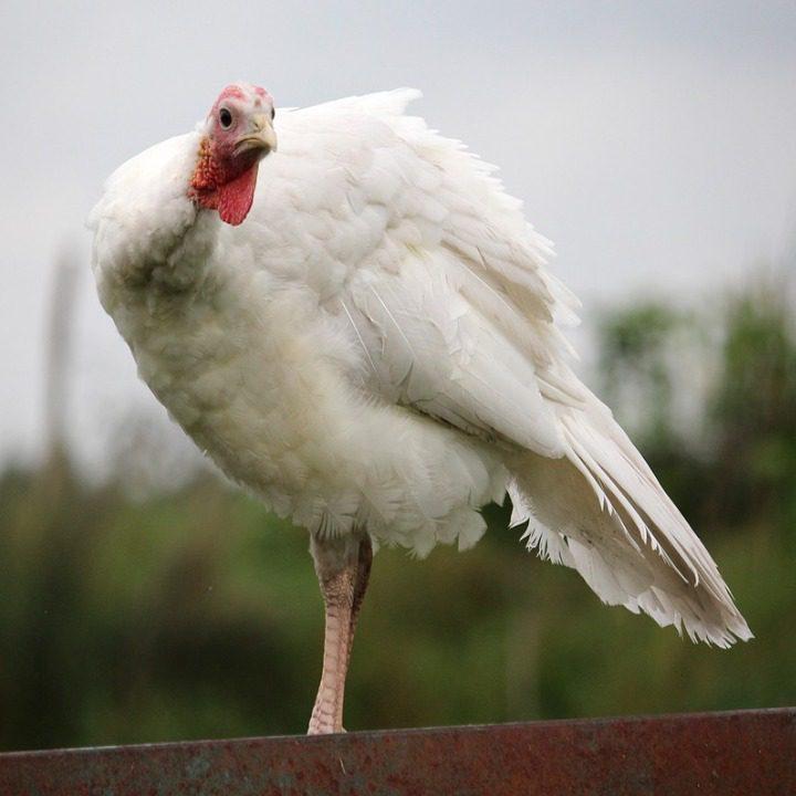 Ayam Kalkun Putih/White Holland