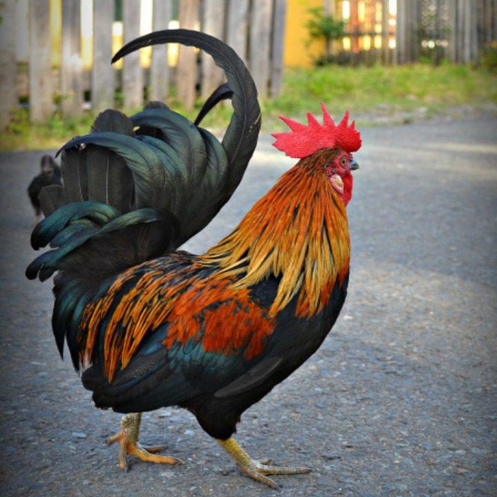 Ayam Kate memiliki tubuh yang mungil, bahkan menjadi salah satu ayam favorit bagi sebagian masyarakat di Indonesia | Ayam Kate Indukan