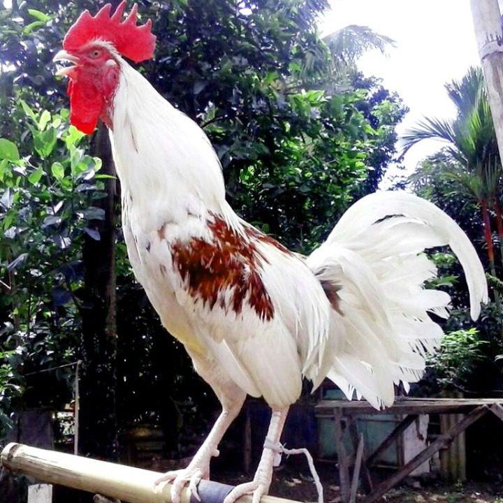 Berikan jamu tradisional agar ayam ketawa berstamina kuat