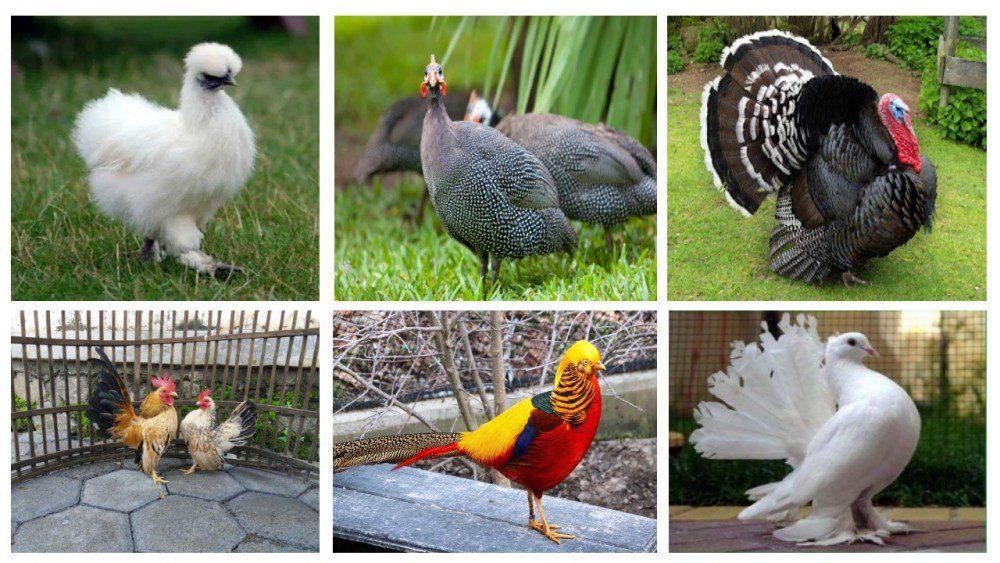 Berbagai jenis ayam hias