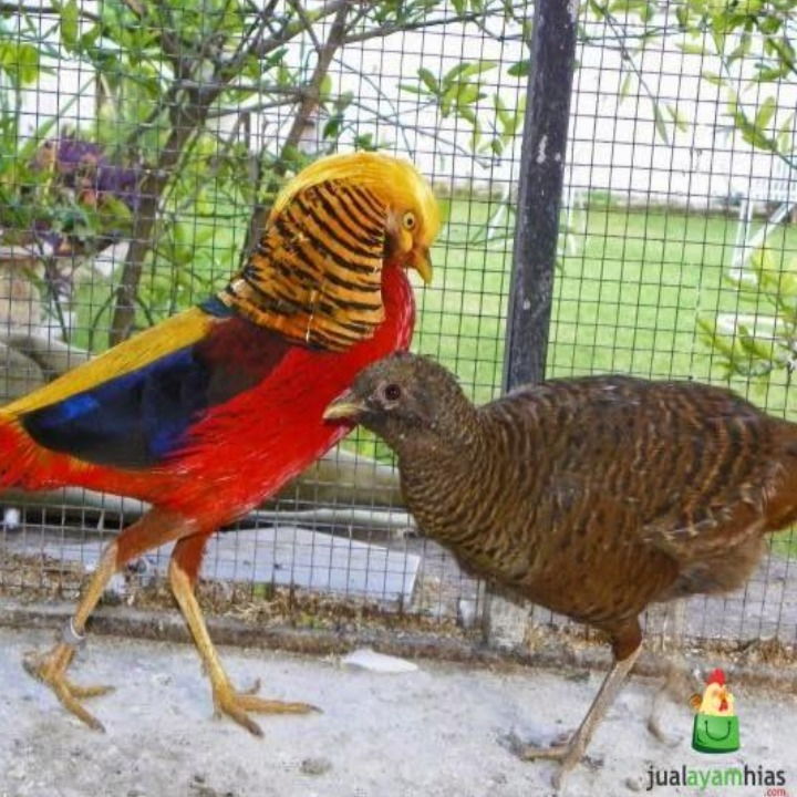 Sepasang Golden Pheasant usia dewasa | Jantan betina golden pheasant