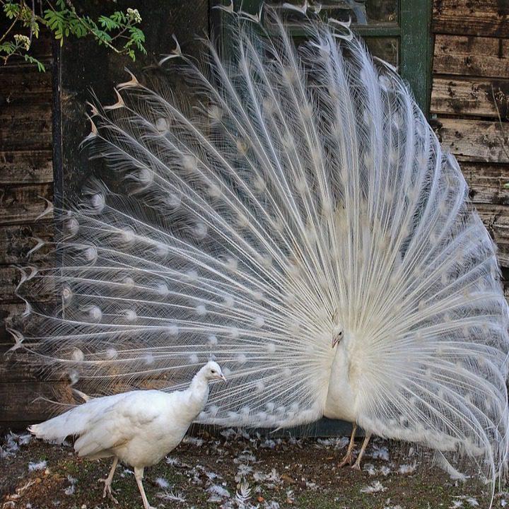 Sepasang Merak Putih