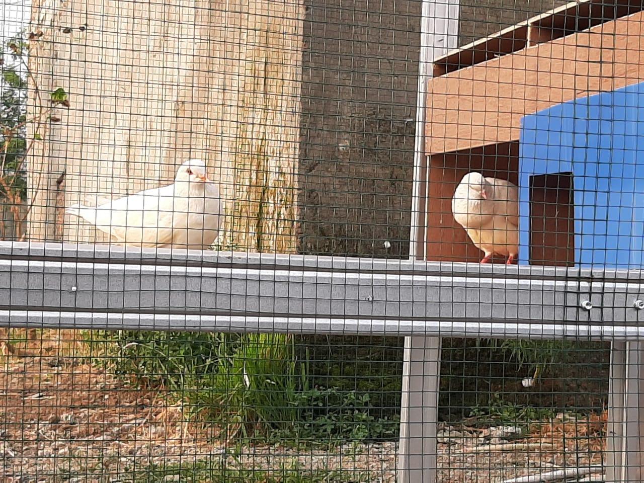 Contoh Sangkar Burung Merpati