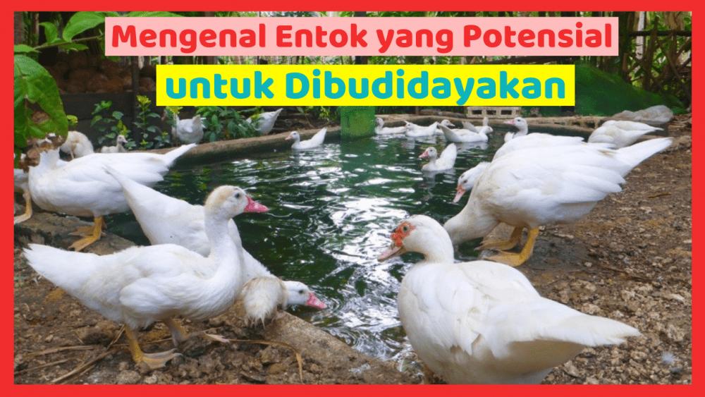 Kandang Ternak JOPER 11 Harga Entok Dewasa Jual Ayam Hias HP : 08564 77 23 888 | BERKUALITAS DAN TERPERCAYA Harga Entok Dewasa Mengenal Entok yang Potensial untuk dibudidayakan