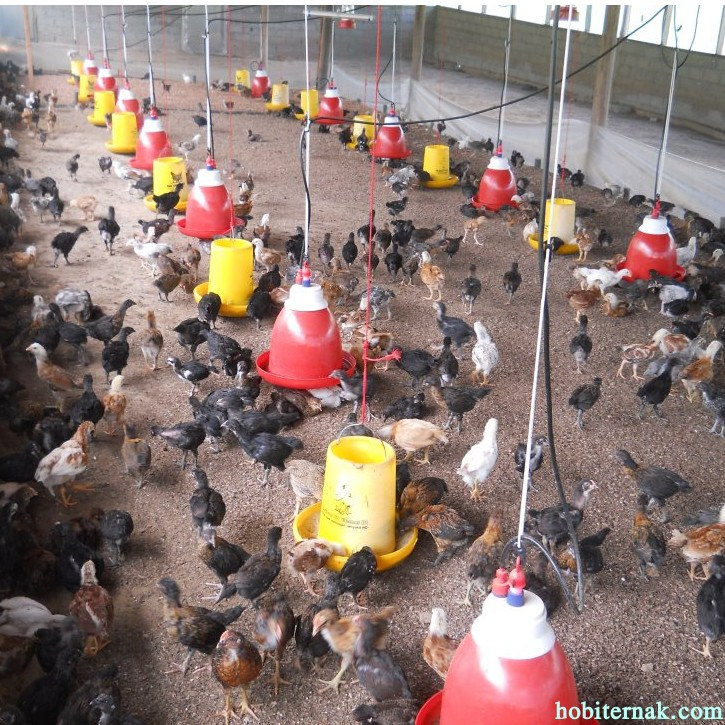 Untuk mecegah terjadinya penularan penyakit maka peternak harus memisahkan antara ayam sehat dengan ayam yang sakit dengan cara dikarantina