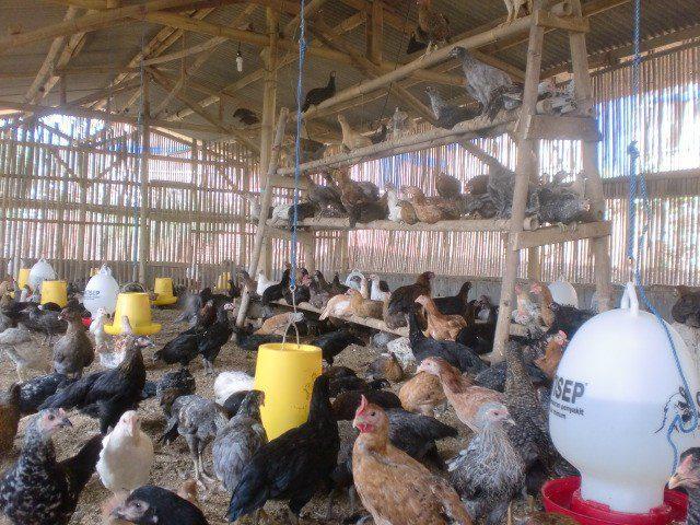 Pembuatan Kandang dengan diberikan tangkringan untuk ayam joper bertengger   tangkringan ayam