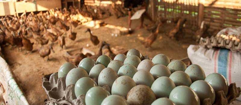 Produktifitas telur bebek akan semakin meningkat jika menejemen pemeliharaan dalam hal pakan tercukupi dengan baik