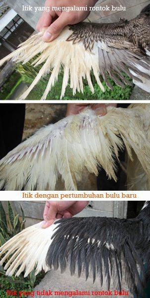 Gambaran Bebek atau Ituk yang sedang mengalami rontok bulu atau mabung