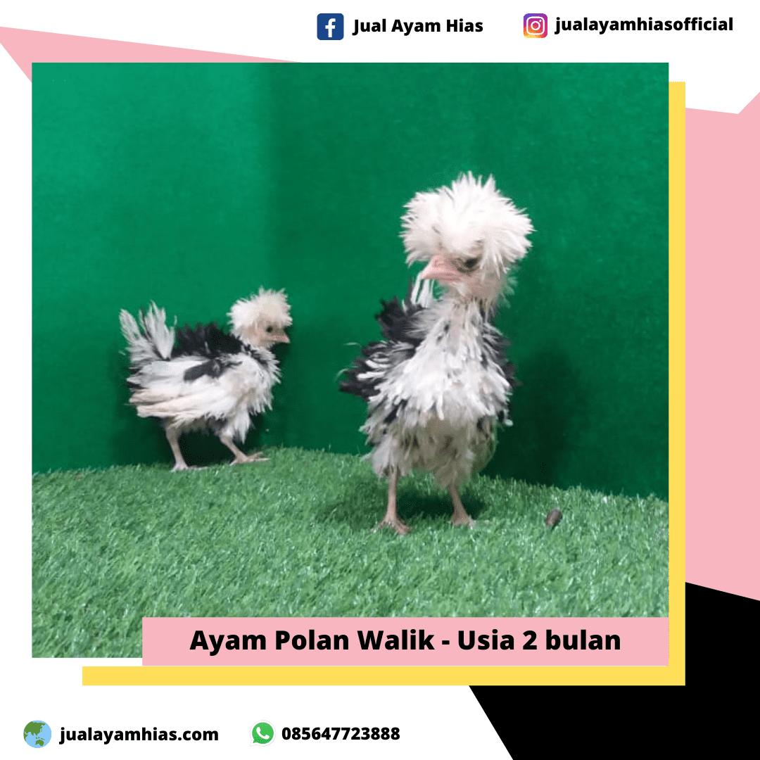 Ayam Poland Walik usia 2 bulan