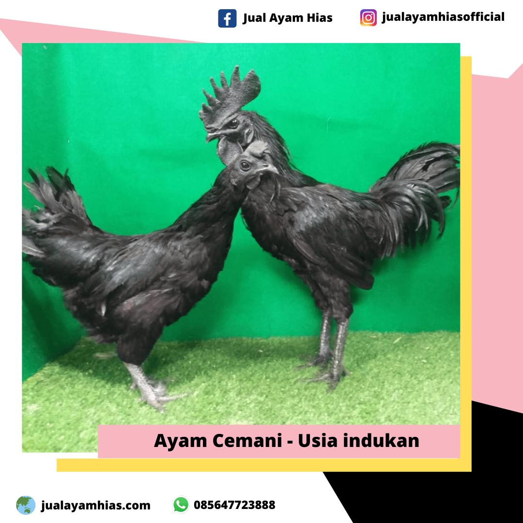 Ayam Cemani usia indukan