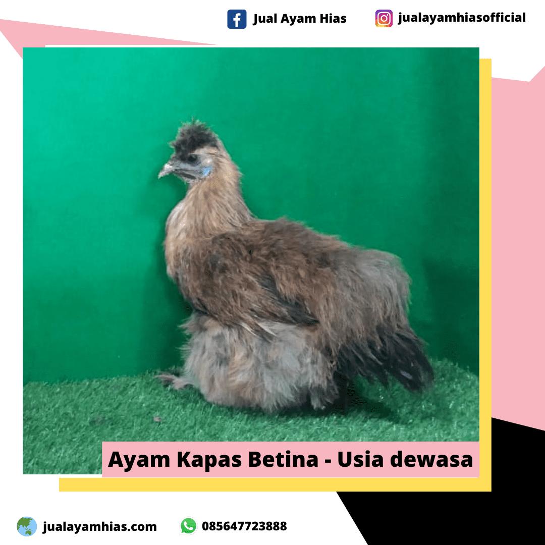 Ayam Kapas Betina