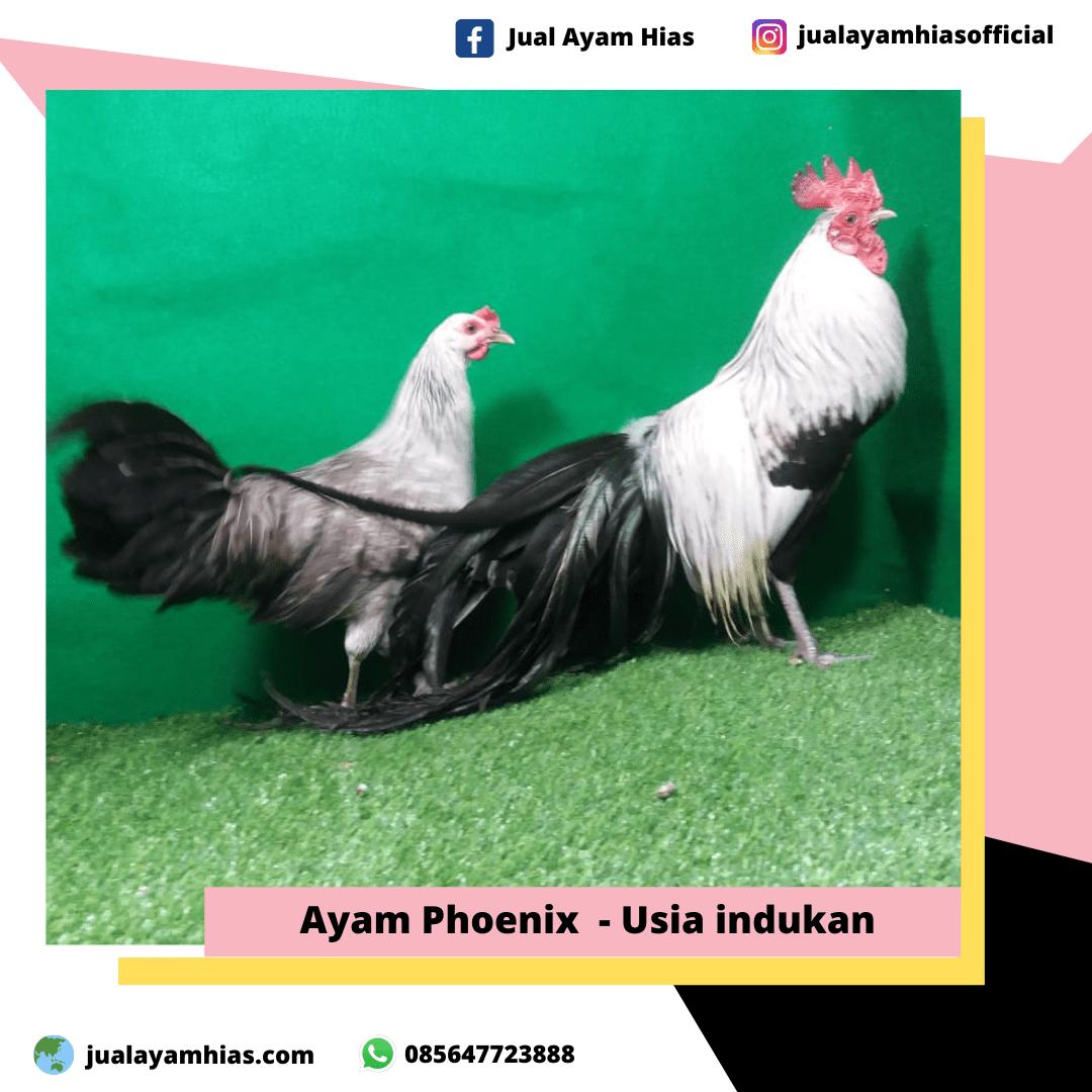 Ayam Phoenix usia indukan