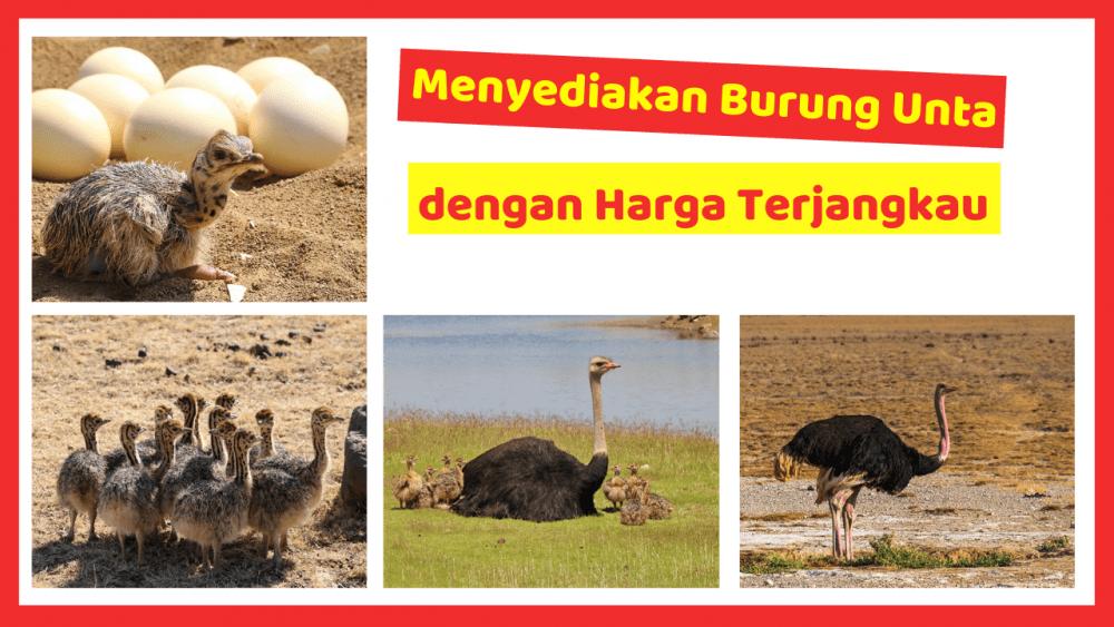 Kandang Ternak JOPER 8 Jual Ayam Hias HP : 08564 77 23 888   BERKUALITAS DAN TERPERCAYA Menyediakan Burung Unta dengan Harga Terjangkau
