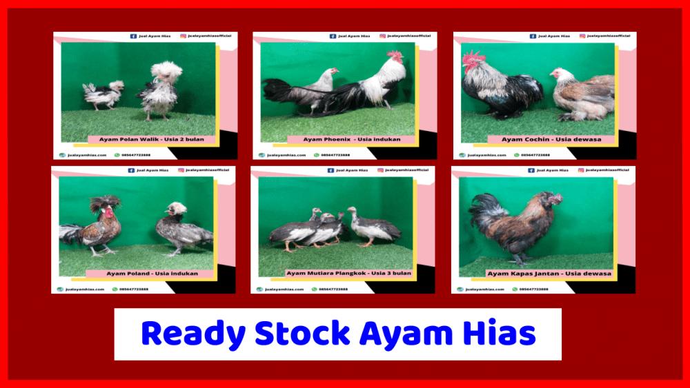 Ready stock ayam hias 3 ready ayam hias Jual Ayam Hias HP : 08564 77 23 888 | BERKUALITAS DAN TERPERCAYA ready ayam hias Ready Stock Berbagai Jenis Ayam Hias