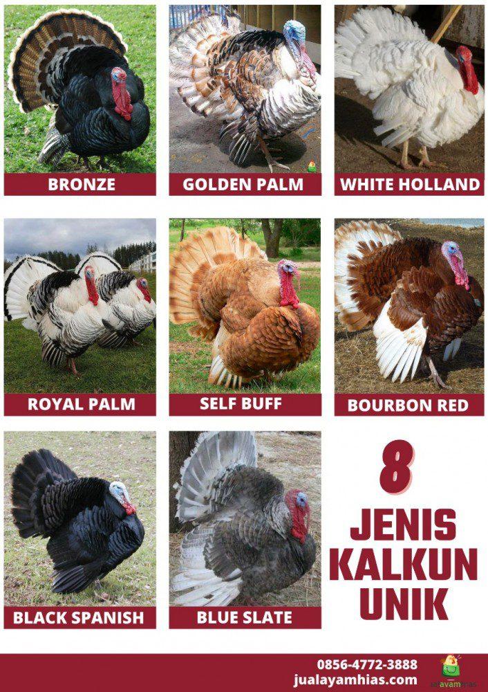 Kami menyediakan berbagai jenis ayam kalkun cantik dengan harga terjangkau | image 3