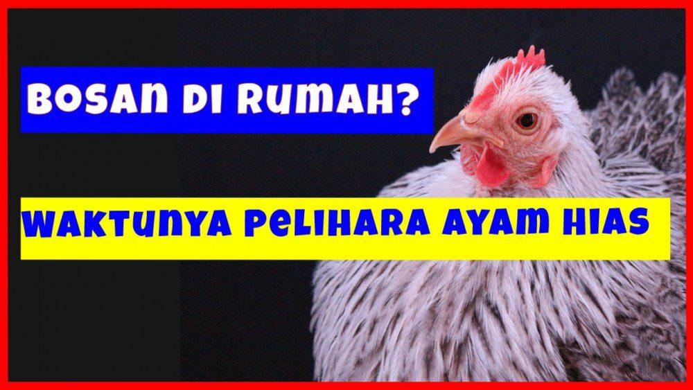 Bosan di Rumah_ Waktunya Pelihara Ayam Hias