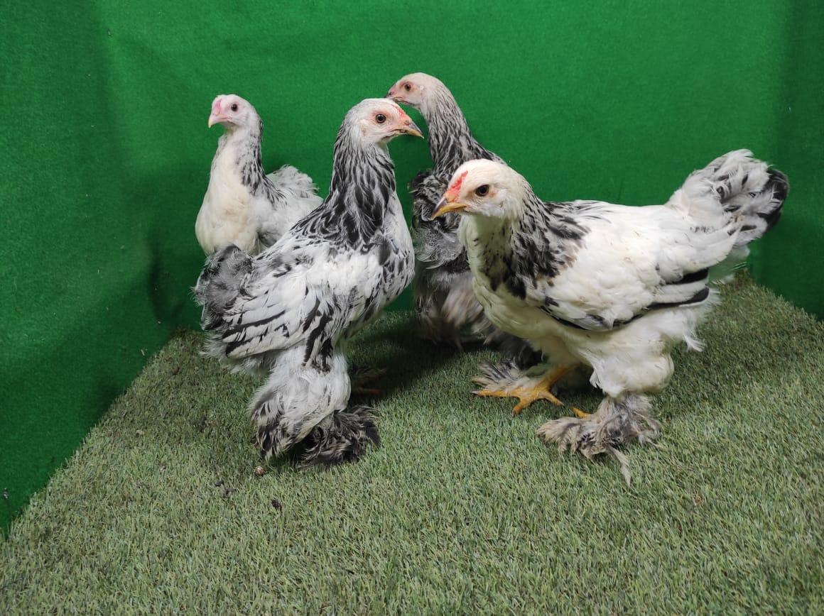 Jika Anda tertarik untuk memelihara Ayam Brahma. Bisa Anda dapatkan bibit dan indukannya ditempat kami   image 3