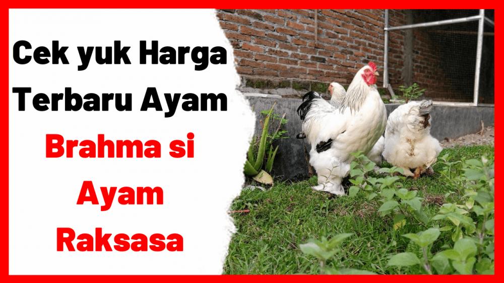 Cek yuk Harga Terbaru Ayam Brahma si Ayam Raksasa | cover