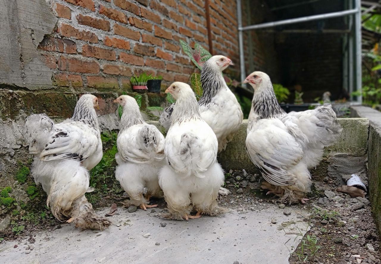 Untuk postur tubuh ayam brahma betina memilki ukuran yang relatif lebih kecil dibanding ayam brahma jantan   image 2