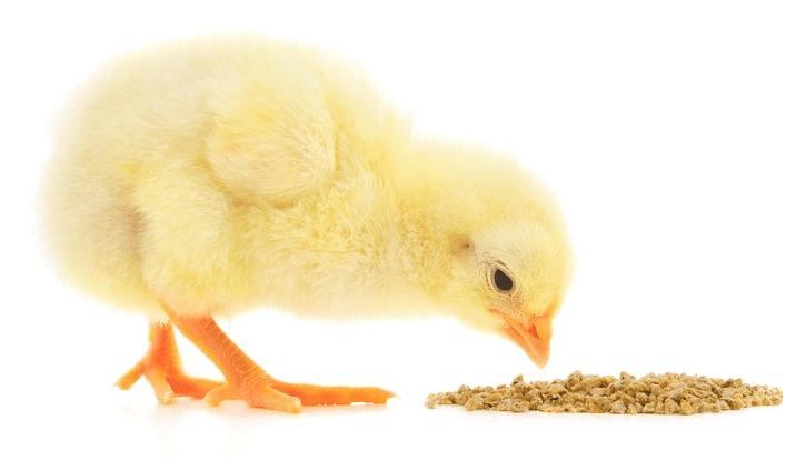 Pemberian pakan berkualitas dan teratur dapat memebuat ayam tumbuh sehat dan optimal