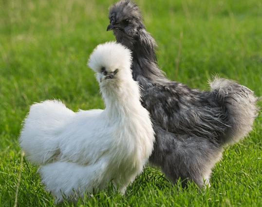 Salah satu jenis ayam hias yang banyak dipelihara masyarakat dirumah