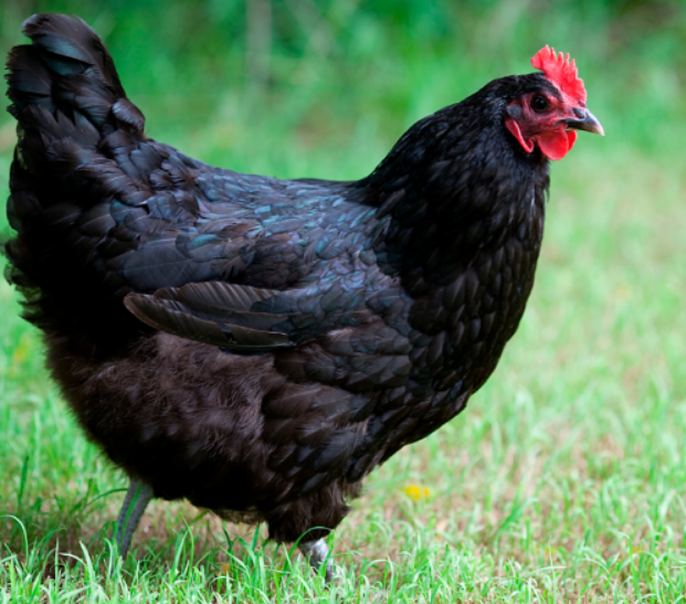 Australorp Chicken has a jet-black feather and they are include as a heavy or large laying hens.