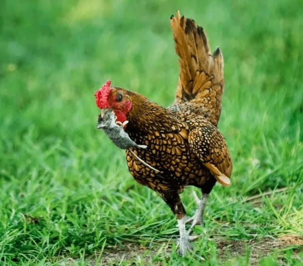 Biasanya bangkai hewan yang sudah mati sering terdapat bibit cacing, jadi jangan biarkan ayam memakan bangkai tersebut