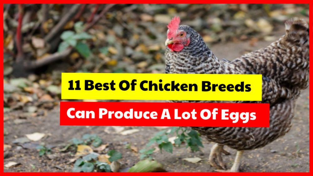 Best chicken breeds for egg production
