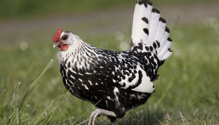 Hamburg Chicken is one of laying hens who come from Germany and can produce egg for consumption..