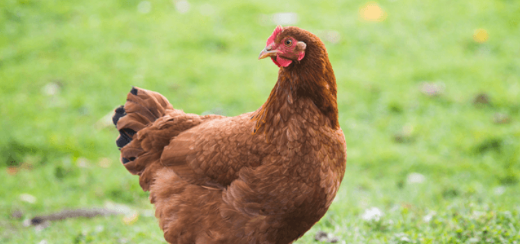 Many people around the world raise Hybrid chicken as a chicken breeds for egg production.