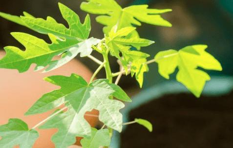 Gunakan daun pepaya yang masih muda untuk mengobati ayam yang sakit cacingan