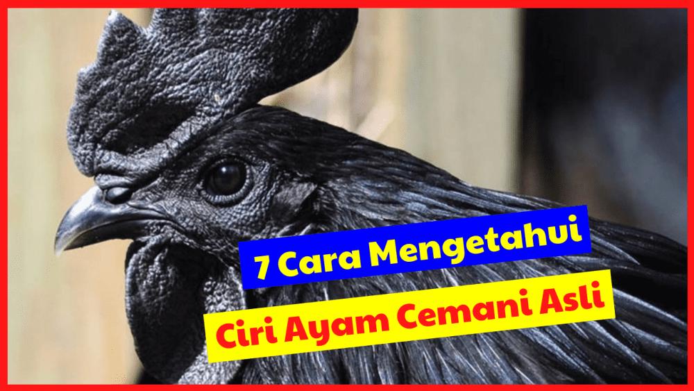 7 Cara Mengetahui Ayam Cemani Asli