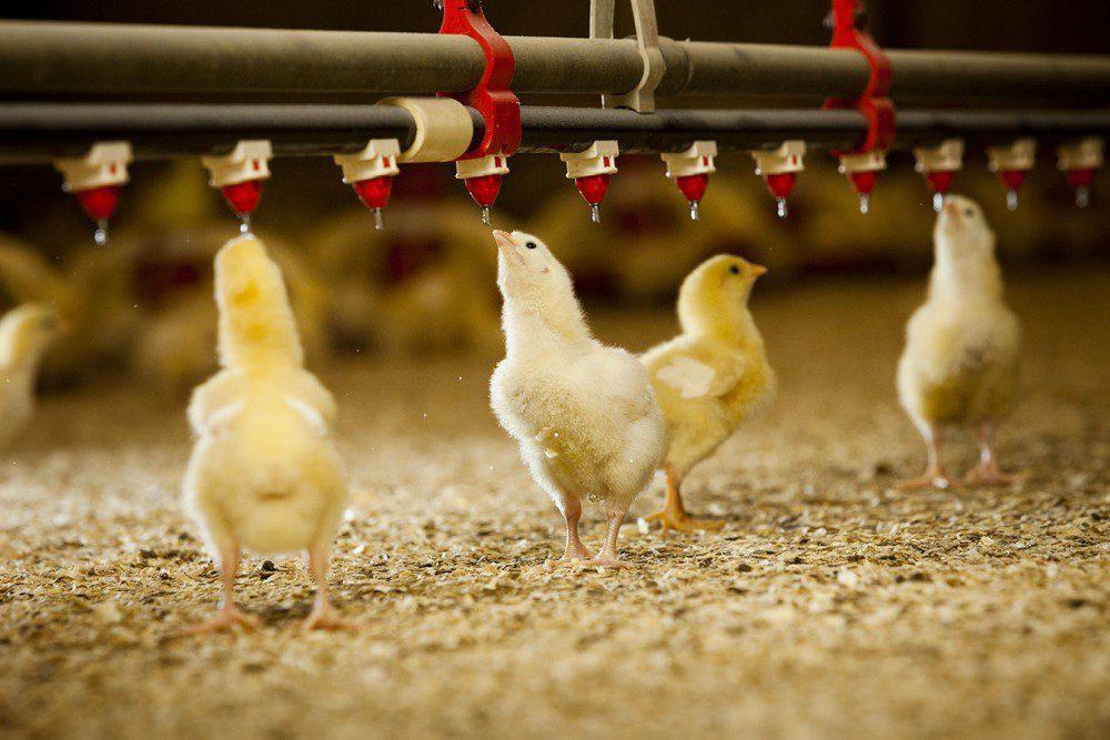 Pemberian obat herbal dapat dicampurkan pada air munum ayam. Selain itu bisa langsung diberikan dan dicampur pada pakan