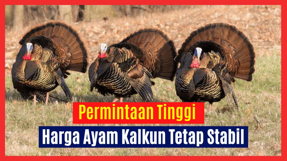 Permintaan yang Tinggi membuat Harga Ayam Kalkun Tetap Stabil