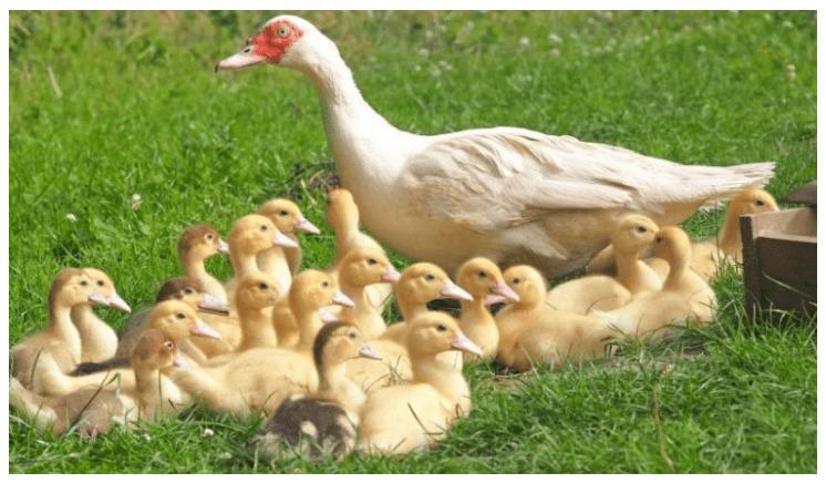 Indukan Entok bersama anak anak ternak entok cepat besar Jual Ayam Hias HP : 08564 77 23 888   BERKUALITAS DAN TERPERCAYA ternak entok cepat besar Manajemen Pakan Entok Supaya Cepat Besar