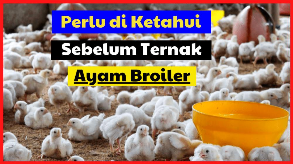 Peternak Pemula Wajib Tahu, Sebelum Memulai Ternak Ayam Broiler